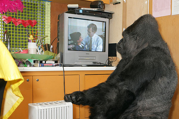Koko Watches A Mister Rogers Retrospective With Dummy The Gorilla Foundation